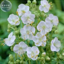 Geranium macrorrhizum 'White Ness' Seeds, 10 Seeds, perennial bonsai flo... - $4.22