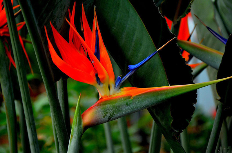 Houseplants red strelitzia reginae seed long flowering paradise bird seeds  03