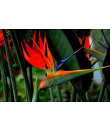 Houseplants Red Strelitzia Reginae Seed Long Flowering Paradise Bird Seeds - $3.22