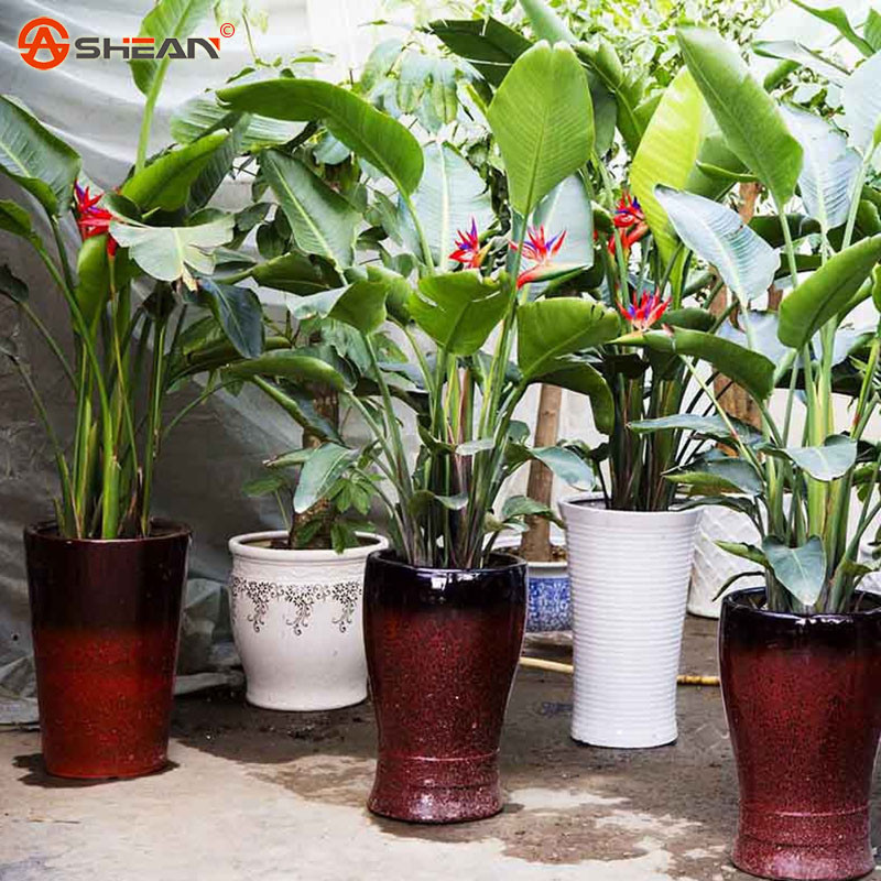 Houseplants Red Strelitzia Reginae Seed Long Flowering Paradise Bird Seeds