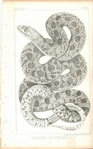 Pituophis McClellan ( Pilot Snake) Zoology Plate V  [Red River EXP.] - $15.00