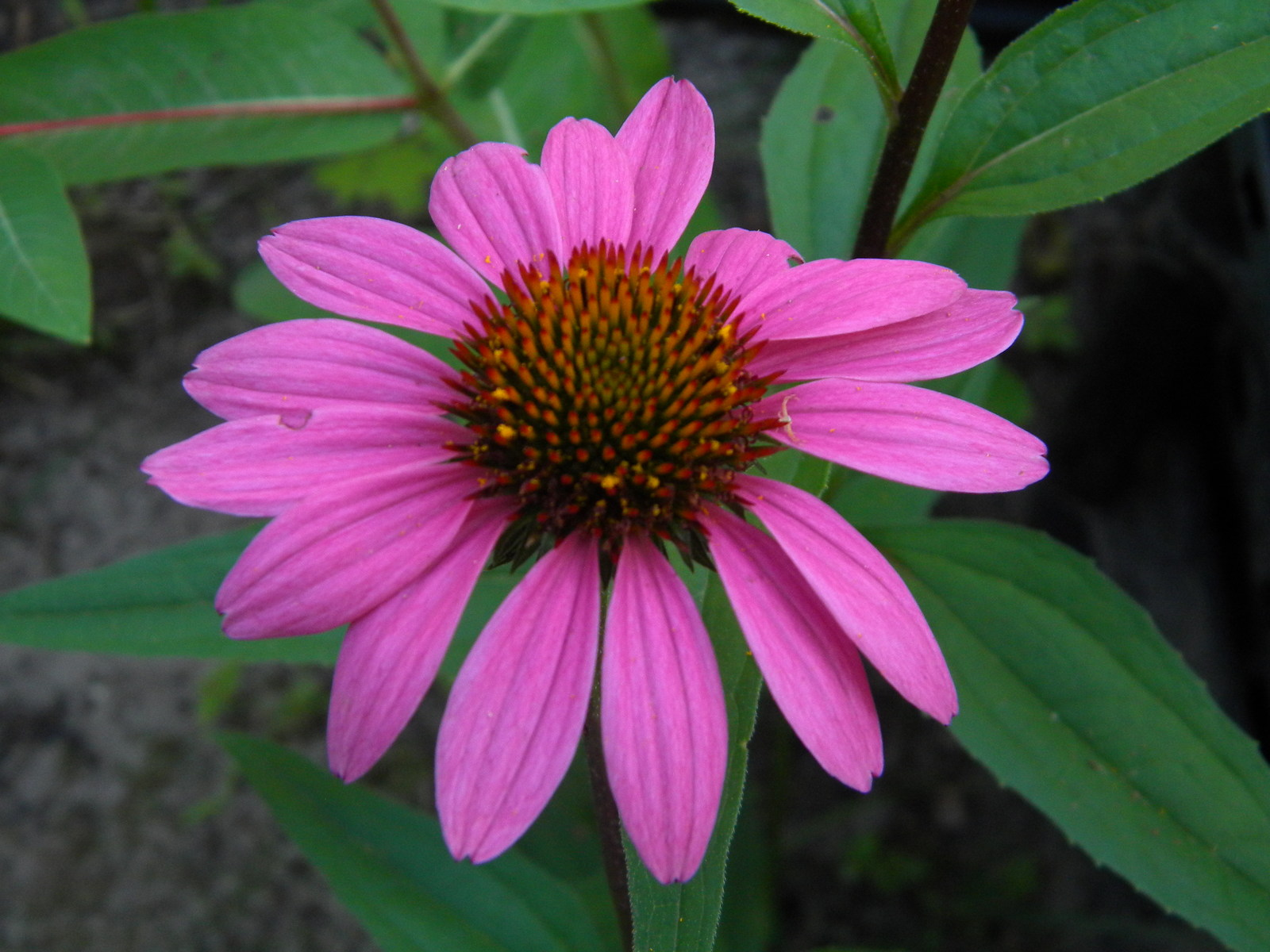 Organic Native Plant, Purple Coneflowwer, Echinacea purpurea