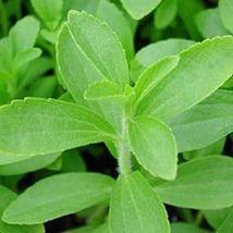 Ship From Us 50 Stevia Rebaudiana Sweetleaf Sugar Herb Flower Seeds SBR4 - $12.00