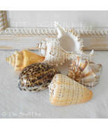 5 Seashells Collectable XLG Shell Lot Beach Wedding Receive the Shells i... - $29.99