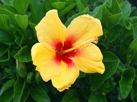 HIBISCUS SYRIACUS double yellow / red 1000 seeds - $92.99