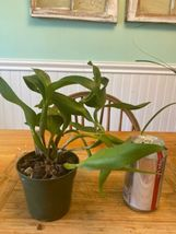 ~~ Dendrobium Ozark Atro Orchid Plant Blooming Size! LONG Lasting Flowers 0410f image 3