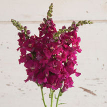 Iron Rose Pink Stock Seeds Edible Flower Seeds - $8.99