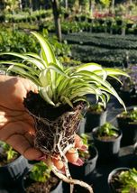 STRIPE SPIDER PLANTS WELL ROOTED Airplane Plant - Air Cleaner - Chloroph... - €16,76 EUR
