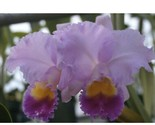 C. Horace Maxima' CATTLEYA Orchid Plant Pot BLOOMING SIZE 0501 Z - $575,15 MXN