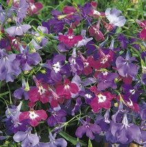 200 Lobelia Erinus Riviera Mix Flower Seeds - $10.88