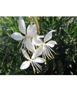 Gaura lindheimeri flowers 10 fresh seeds - Sow in Spring or Fall - $10.79