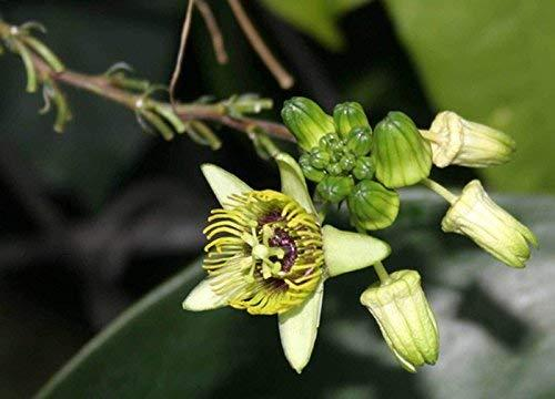 1 Packet of 20 Seeds Bat Leaf, Sweet Calabash - Passifloraceae - Passiflora Cori