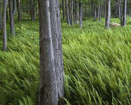 Christmas fern 20 rhizome (Polystichum acrostichoides) image 6
