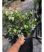 10 Live USA Star Jasmine Cuttings Trachelospermum jasminoides - $6.60