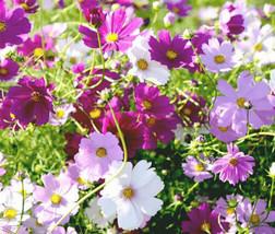 Beautiful Cosmos Sensation Mix Bipinnatus Flower Seeds 50.000 Bulk #IMA36 - $95.99