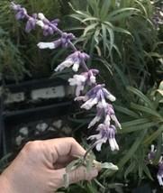 Live Plant Seedling SALVIA - LEUCANTHA - White And Purple Flowers - $6.60