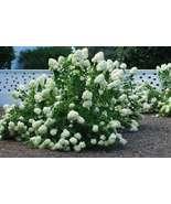 10+ Cuttings White Pee Gee Hydrangea Peegee Plant - $34.90