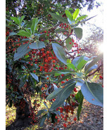 10 PACIFIC MADRONE TREE Bearberry Red Arbutus Menziesii Oregon Laurel Seeds - $14.00