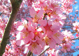 "2 Okame Flowering Cherry Tree Plants in 3"" pot 6""-12"" - $46.50"