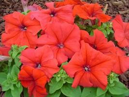 150 Pelleted Seeds Petunia Seeds Limbo Red FLOWER SEEDS Garden & Outdoor Living - $56.99