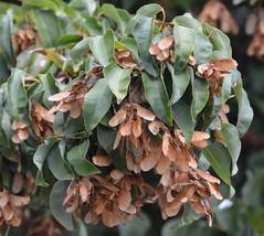 100 Acer oblongum Seeds, Himalayan Maple, Evergreen Maple, Kashmir Maple , Flyin - $9.95