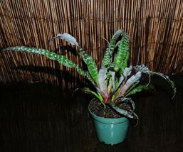 "Black Mystic Cryptanthus Gorgeous & Easy Bromeliad 5.5"" Super Full Pots - $51.99"