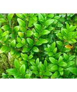 50pcs Very Elegant Wintergreen Boxwood Perennial Ornamental Shrubs Seeds... - $13.99