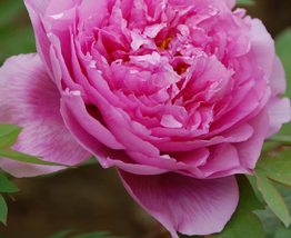 5 pcs Very Excellent Peony Chinese Rose-typed Rose Pink Flower Seeds Fragrant - $13.85