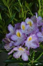 1 Starter Plant of Rhododendron 'Blue Angel' - $81.18