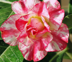 2pcs Very Elegant Adenium 'Tearose' Pink White Spot Stripe Bonsai Flowers IMA1 - $14.84