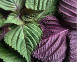 Seeds Bi-Coloured Perilla Shiso Salad Leaves Plants 30pcs