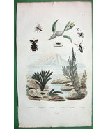 BEETLES Frog Hopper Ceramium algae - 1836 H/C Color Natural History Print - $10.71