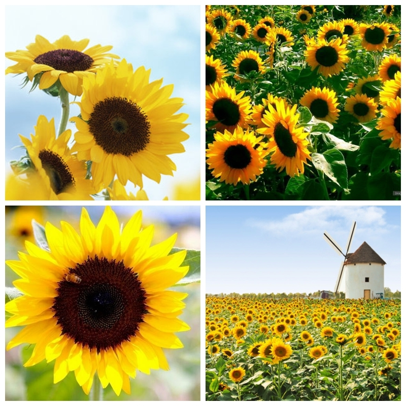 Primary image for 20 Seeds Sunflower Seed Helianthus Annus Beautiful For Garden Flower Seed A296