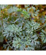 Rue 200 Seeds Ruta Graveolens Herbs Medicinal Deer Repellent Pest Deterrent - $4.99