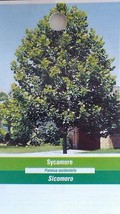 SYCAMORE 4-6 FT Tree Plant Large Easy To Grow Shade Trees Plants - $96.95