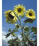 100 Sunflower Moonshine Seeds - $5.94