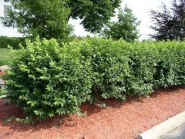 "Dwarf Burning Bush plant 4"" pot Hardy Shrub (Euonymus Alatus) image 3"