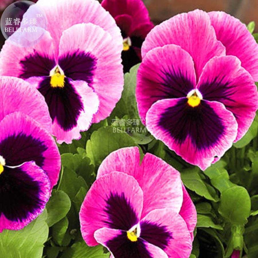 BEST PRICE Pansy Viola Tricolor Hardy Flower, 50 seeds DIY HOME GARDEN LG [5]