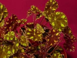 """Begonia Plant Kit Kat 4"""" Pot Rhizomatous Terrarium - $9.50"""