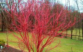 Acer palmatum sango kaku pink stem japanese maple thumb200