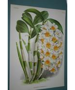 Lindenia Orchid Print Limited Edition Dendrobium Thyrsiflorum Collectibl... - $15.19