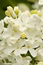 50 Angel White Lilac Seeds Tree Fragrant Hardy Perennial Flower Shrub - TTS - $23.95