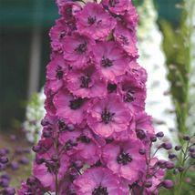 25 Pcs Pacific Giant Asolat Raspberry Delphinium Flower Seeds / Disease Resist P - $9.55