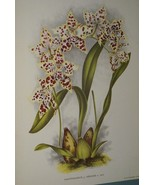 Lindenia Print Limited Edition Odontoglossum Adrianae Orchid Collectible... - $15.19