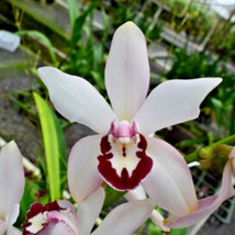 Cym. Vanessa Amorosi Pink Paradise' Orchid Plant Blooming Size Warm Grow 0429 K image 1