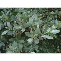 Silver Buttonwood Conocarpus erectus var. sericeus 50 Seeds GTL09 - $24.17