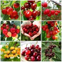 10pcs Red Cherry Bonsai Balcony Garden (4), HZ Delicious Fruit Seeds - $8.89