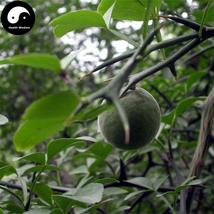 Buy Bitter Orange Tree Seeds 60pcs Plant Citrus Aurantium For Aurantii Z... - $5.99
