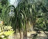 Palmsbeaucarnea recurvata ponytailpalm thumb155 crop