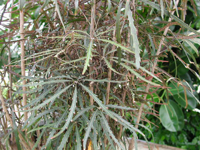 Plantsfalse aralia
